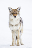 USA, Wyoming, Yellowstone National Park, Coyote in Snow Lámina fotográfica por Elizabeth Boehm