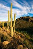 Saguaro Cactus in the Tucson Mountains, Saguaro National Park West, Arizona Reproduction photographique par Susan Degginger