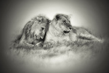 Lioness and Son Sitting and Nuzzling in Botswana Grassland, Africa Photographic Print by Sheila Haddad