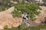 Wa, Alpine Lakes Wilderness, Twisted Fir Tree, Near Mount Stuart Lámina fotográfica por Jamie And Judy Wild