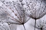 Dandelion Seeds Fotografisk tryk af Anette Linnea Rasmus