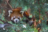 Red Panda in the Pine Trees Lámina fotográfica por Krzysztof Wiktor