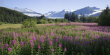 Field of Fireweed with Coast Mountains and Mendenall Glacier Reproduction photographique par  Design Pics Inc
