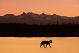Silhouette of a Wolf Walking at Sunset, Tongass National Forest, Southeast, Alaska Reproduction photographique par  Design Pics Inc