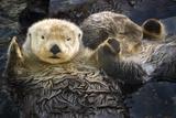 Two Sea Otters Holding Paws at Vancouver Aquarium in Vancouver, British Columbia Canada Premium-Fotodruck von  Design Pics Inc