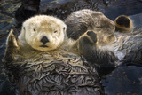 Two Sea Otters Holding Paws at Vancouver Aquarium in Vancouver, British Columbia Canada Photographic Print by  Design Pics Inc
