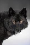 Close-Up Archipelago Wolf Fotoprint van  Design Pics Inc