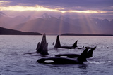 Orca Pod in Lynn Canal with Sunrays on Chilkat Mtn Ak Se Summer Evening Reproduction photographique par  Design Pics Inc