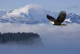 Bald Eagle in Flight over the Inside Passage with Tongass National Forest in the Background, Alaska Fotografisk trykk av  Design Pics Inc