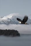 Bald Eagle in Flight over the Inside Passage with Tongass National Forest in the Background, Alaska Fotografisk tryk af  Design Pics Inc