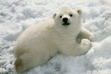 Polar Bear Cub Playing in Snow Alaska Zoo Reproduction photographique par  Design Pics Inc