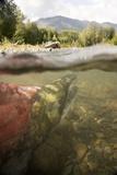 Spawned Out Sockeye Salmon in Quartz Creek Kenai Peninsula Alaska Summer Underwater Image Fotoprint van  Design Pics Inc