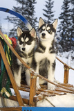 Two Siberian Husky Puppies Sitting in Dog Sled in Snow Alaska Reproduction photographique par  Design Pics Inc