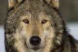 Portrait of Grey Wolf Captive Alaska Se Winter Fotografisk tryk af  Design Pics Inc