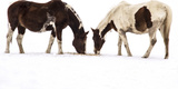 Patterned Horses Resembling Mirror Images, Grazing in the Snow Photographic Print by Stephen St. John
