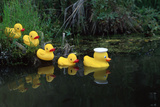 Rubber Ducks in a Row Pond Southcentral Alaska Premium fototryk af  Design Pics Inc