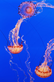 California, Monterey, Three Orange Jellyfish (Cnidarian) in the Monterey Aquarium Fotografie-Druck von  Design Pics Inc