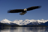 Bald Eagle in Flight Inside Passage Tongass National Forest Se Alaska Spring Stampa fotografica di  Design Pics Inc