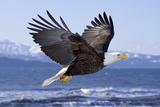 Bald Eagle in Mid-Air Flight over Homer Spit Kenai Peninsula Alaska Winter Kachemak Bay Fotografie-Druck von  Design Pics Inc