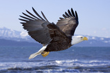 Bald Eagle in Mid-Air Flight over Homer Spit Kenai Peninsula Alaska Winter Kachemak Bay Lámina fotográfica por  Design Pics Inc