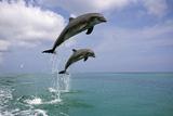 Pair of Bottle Nose Dolphins Jumping Roatan Honduras Summer Fotografie-Druck von  Design Pics Inc