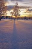Frost Covered Birch Tree at Sunset Arctic Valley Sc Ak Reproduction photographique par  Design Pics Inc