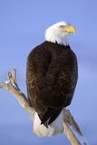 Bald Eagle Perched on Tree Branch Homer Spit Kenai Peninsula Alaska Winter Fotografisk trykk av  Design Pics Inc