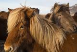A Group of Icelandic Horses Fotografisk tryk af Charles Kogod