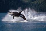 Double Breaching Orcas Bainbridge Passage Prince William Sound Alaska Summer Southcentral Reproduction photographique par  Design Pics Inc