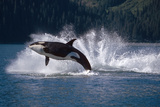 Double Breaching Orcas Bainbridge Passage Prince William Sound Alaska Summer Southcentral Fotografisk trykk av  Design Pics Inc
