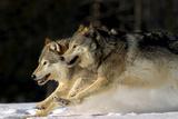 Pack of Grey Wolves Running Through Deep Snow Captive Ak Se Winter Reproduction photographique par  Design Pics Inc