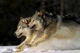 Pack of Grey Wolves Running Through Deep Snow Captive Ak Se Winter Fotografisk tryk af  Design Pics Inc