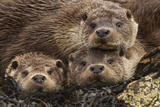 A Mother Otter and Two Male Cubs Listen Intently to the Clicking of the Photographer's Camera 写真プリント : Charlie Hamilton James