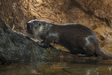 A Pregnant Female Otter on a Log in Western England 写真プリント : Charlie Hamilton James