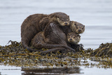 A Mother Otter and Two Male Cubs at the Water's Edge 写真プリント : Charlie Hamilton James