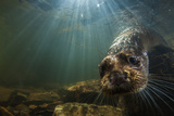 A Female Otter Swims in a River in Western England 写真プリント : Charlie Hamilton James