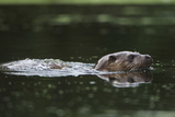 An Otter in a Dorset Stream Pops Up from a Dive 写真プリント : Charlie Hamilton James