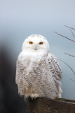 A Snowy Owl, Bubo Scandiacus, Perches on a Fence and Scans the Winter Landscape Stampa fotografica di Robbie George