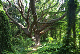 Hawaii, Maui, Honolua, a Tree Surrounded by Lush Green Vines Trykk på strukket lerret av  Design Pics Inc