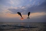 Pair of Bottle Nose Dolphins Jumping at Sunset Roatan Honduras Summer Backlit Lámina fotográfica por  Design Pics Inc