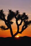 Silhouette of Joshua Tree at Sunset Reproduction photographique par  Design Pics Inc