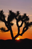 Silhouette of Joshua Tree at Sunset Photographic Print by  Design Pics Inc