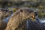 A Mother Otter, with Male Cub, Eats a Rockling Fish 写真プリント : Charlie Hamilton James