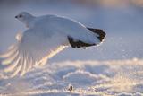 A Ptarmigan in its White Winter Plumage, Taking Flight Reproduction photographique par Peter Mather