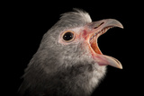 A Southern Screamer, Chauna Torquata, at the Kansas City Zoo Photographic Print by Joel Sartore
