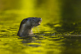 An Otter in the River Stour Pops Up from a Dive 写真プリント : Charlie Hamilton James