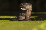 An Otter in the River Stour Pops Up from a Dive with a Fish 写真プリント : Charlie Hamilton James