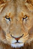 Portrait of an African Male Lion with Scars, in South Africa Opspændt lærredstryk af Keith Ladzinski