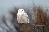 A Snowy Owl, Bubo Scandiacus, Perches on a Fence and Scans the Winter Landscape Fotografisk tryk af Robbie George