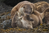 Two Otter Cubs Mock Fight on a Seaweed Covered Rock 写真プリント : Charlie Hamilton James